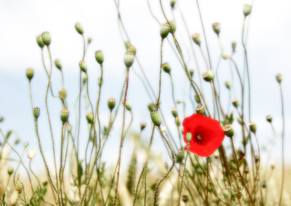 Poppy in field in France by Colin Leal