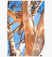 Hanging Around, Yanchep National Park Poster