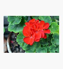 Red flower in the pot with many green leaves Photographic Print