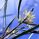Hakea in Sunshine by LouJay
