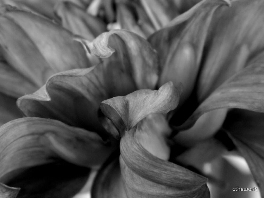 Dahlia Petals   ^ by ctheworld