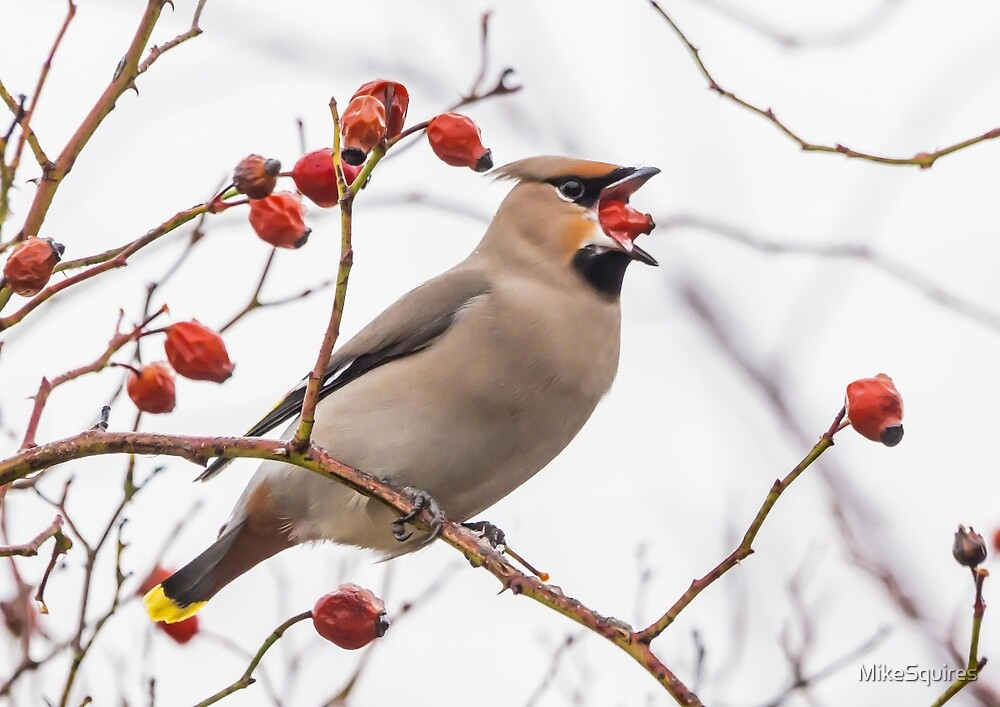 Waxwing by MikeSquires