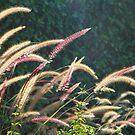 Ornamental Grasses by Chet  King