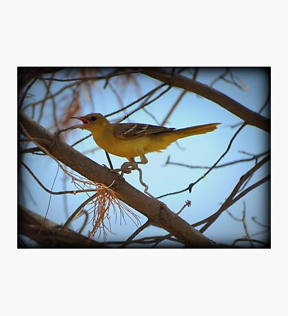 Hooded Oriole (Female) Photographic Print