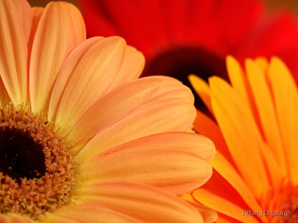 Gerberas by Tiffany Dryburgh