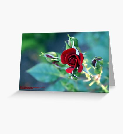"Minature ""RED"" in bloom; Patricia Merz Greenhouse/Gardens, Gr. Hills, CA USA Greeting Card"