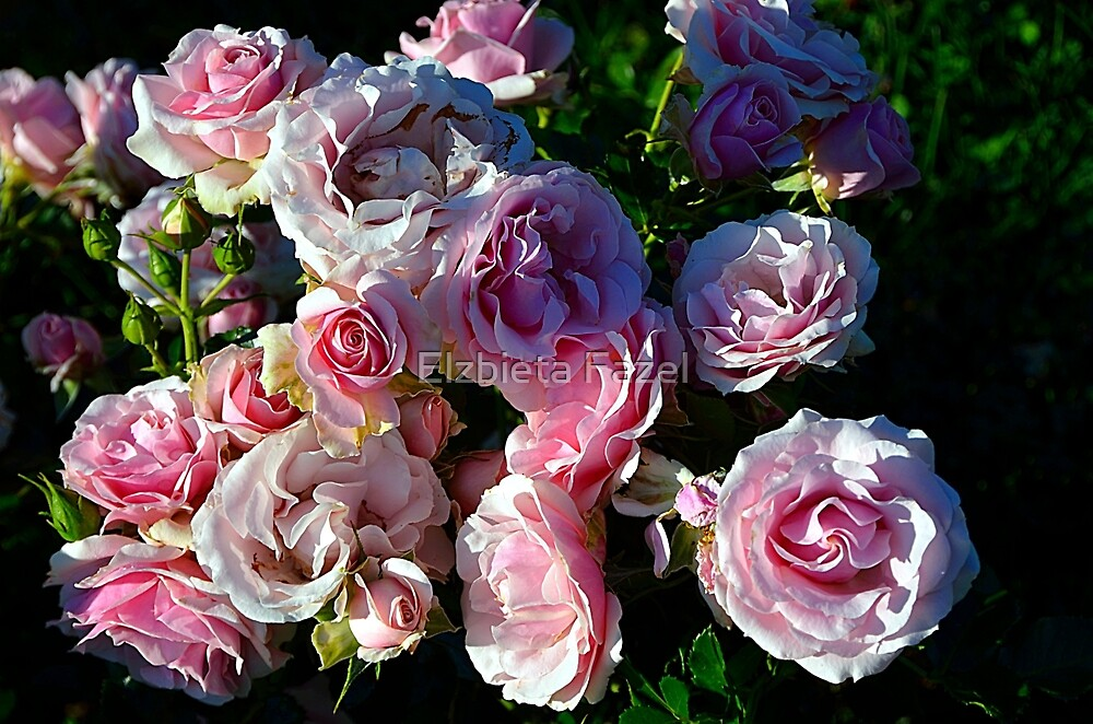 Hybrid Tea Roses by Elzbieta Fazel