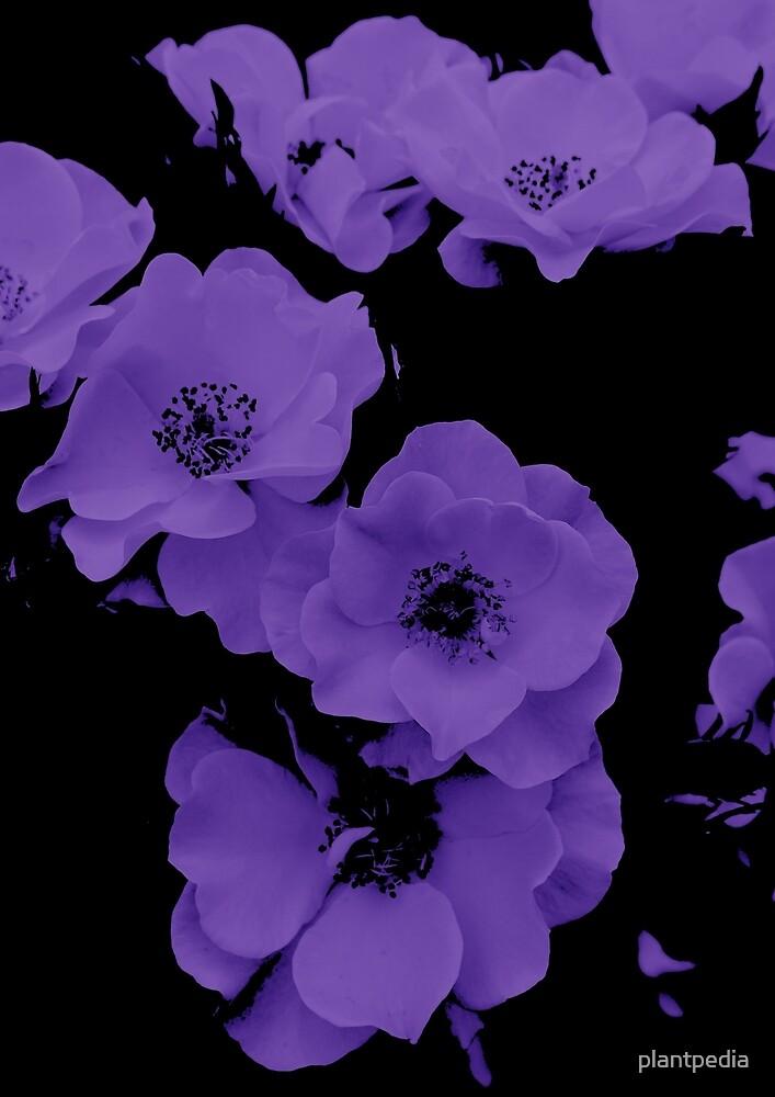 Purple by plantpedia