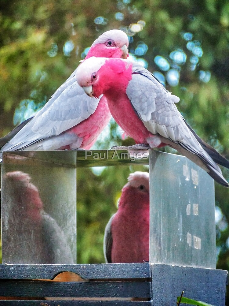 Pink and Grey Galahs by AmyesPhotograph