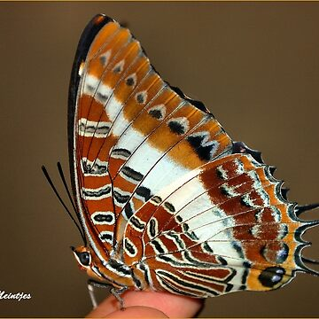 WHITE BARRED EMPEROR - CHARAXES brutus natalensis by mags