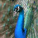 Portrait of a Peacock by sueyo