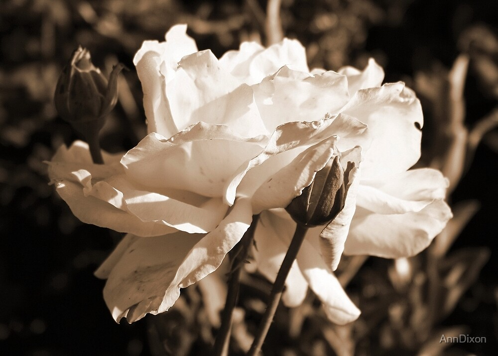 Sepia Rose by AnnDixon