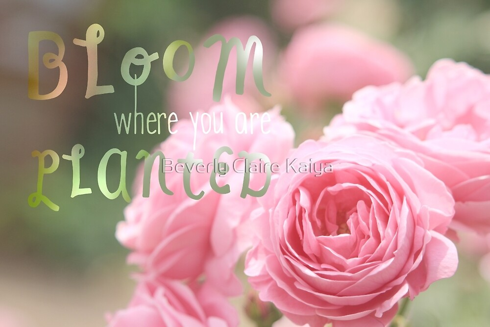 Bloom Where You Are Planted Pink Roses by Beverly Claire Kaiya