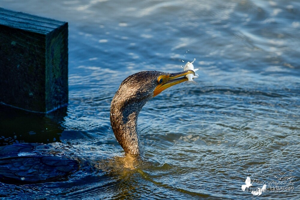 Cormorant Catches Fish by TJ Baccari Photography