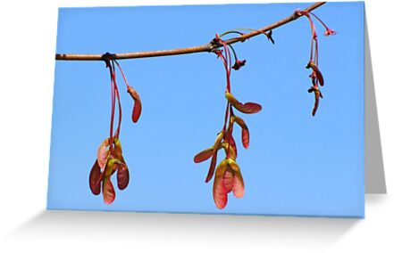 Sycamore Seeds in Spring by Jean Gregory  Evans