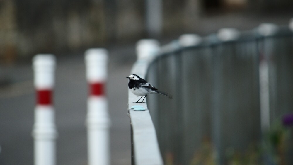 Wagtail On Fence by Adrian Wale