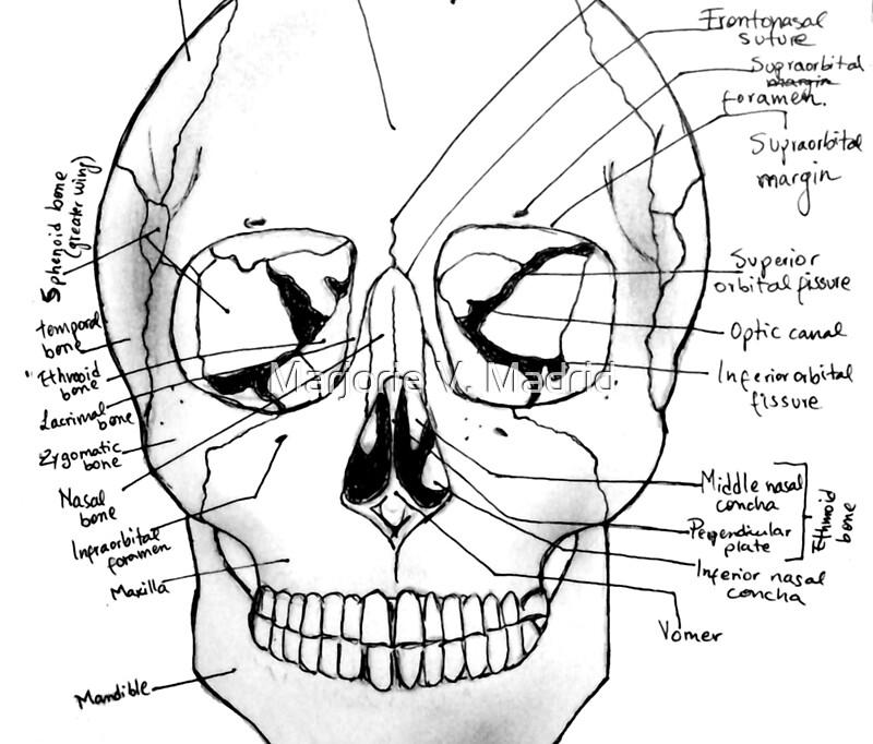 Excepcional Etiquetado Anatomía Del Cráneo Galería - Imágenes de ...