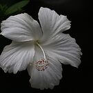 White hibiscus by richeriley