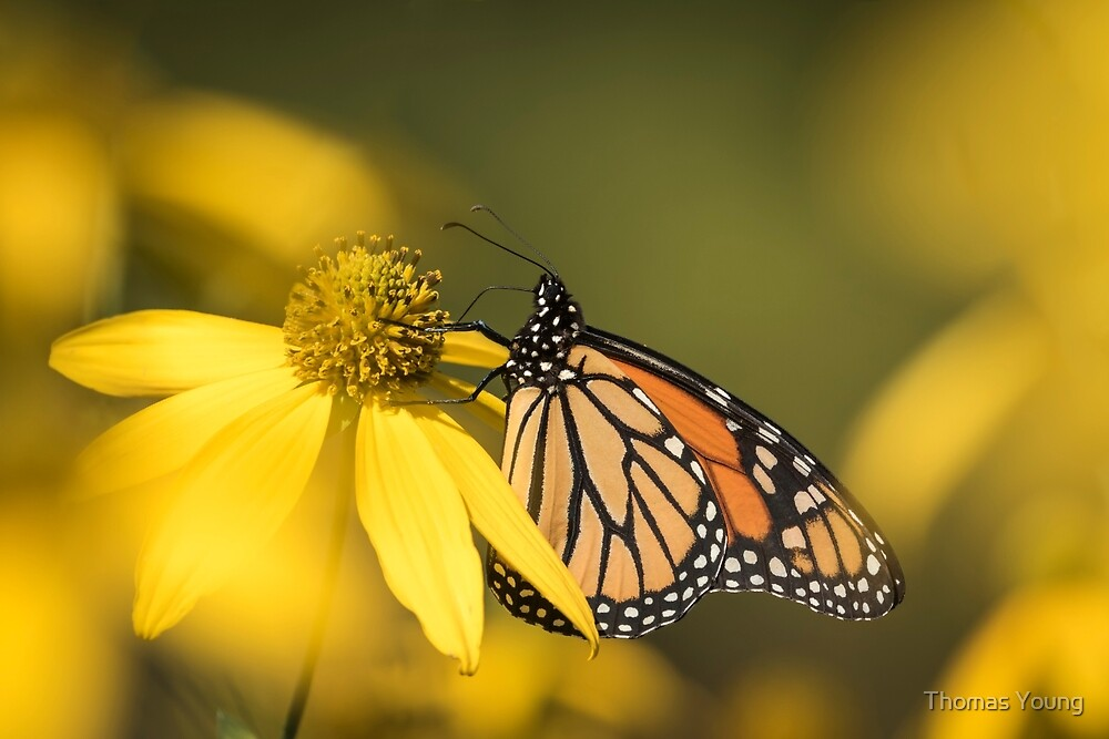 Fall Monarch 2016-5 by Thomas Young