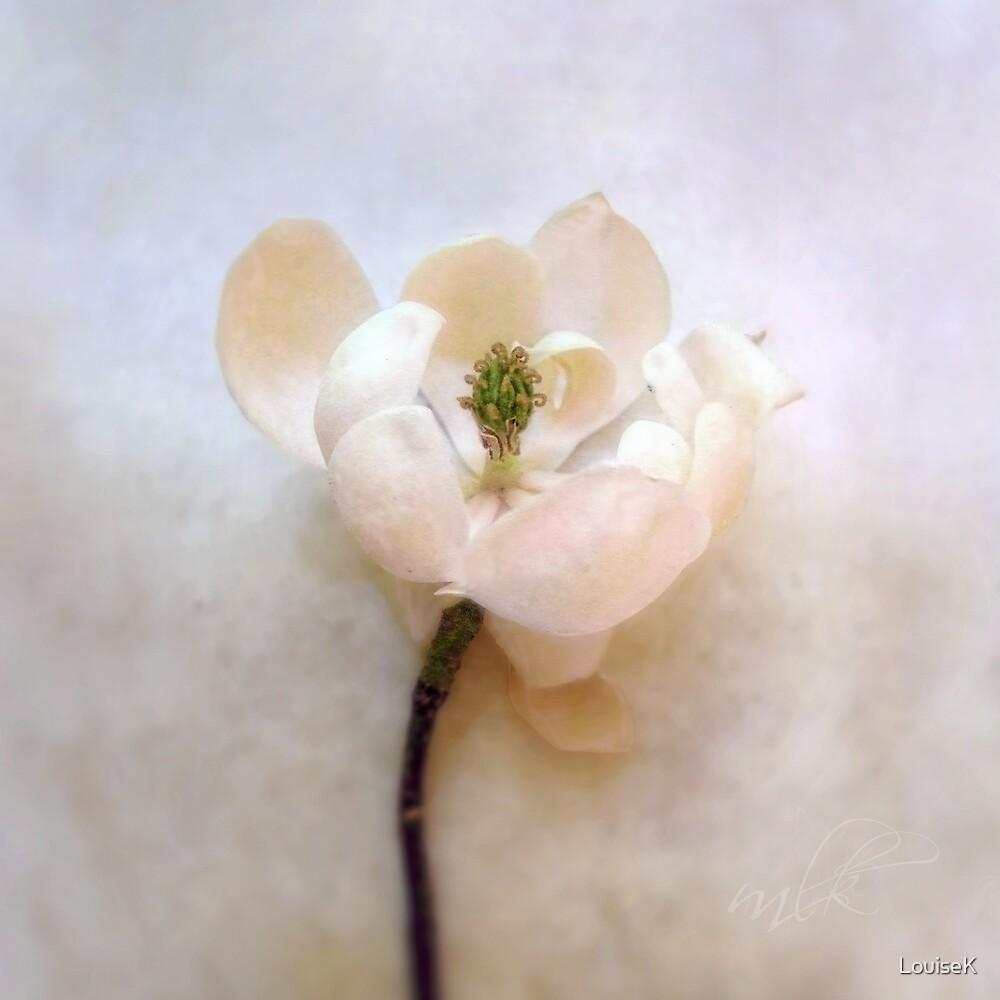 Sweet Bay Magnolia Bloom by LouiseK