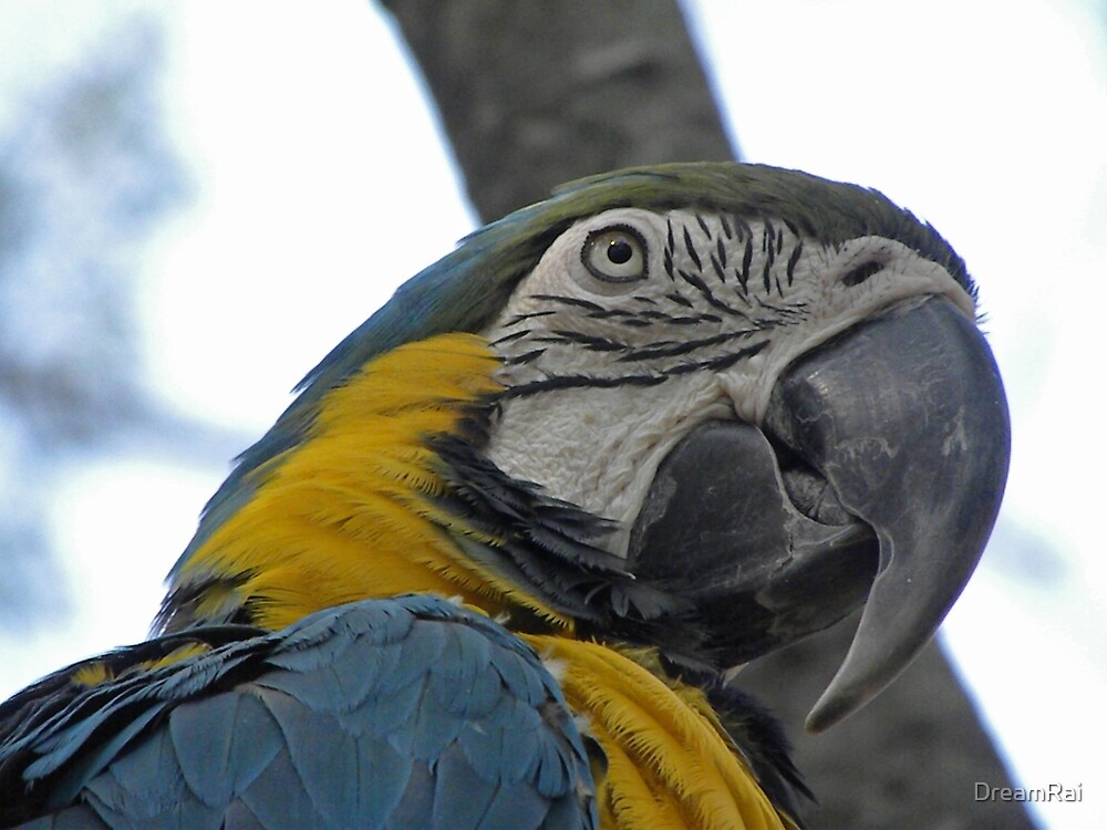 Macaw by DreamRai