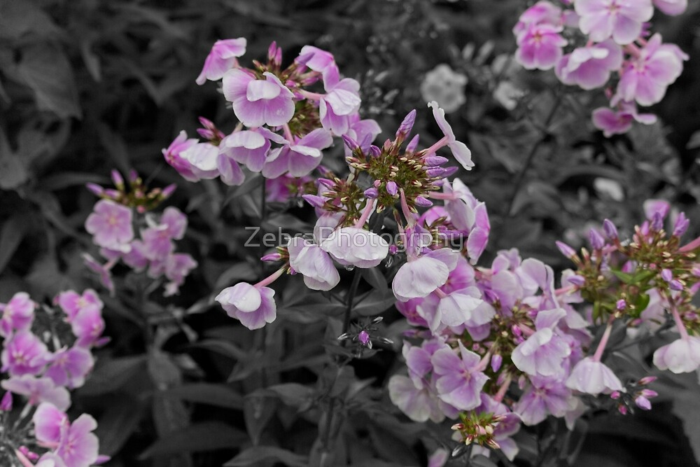 Flowing Pink Petals B&W by ZbraPhotography