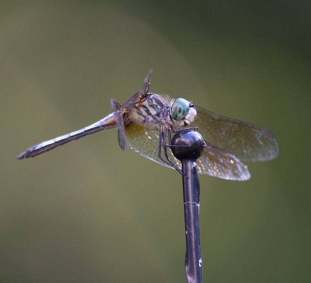 Dragonfly by 38NPhotography
