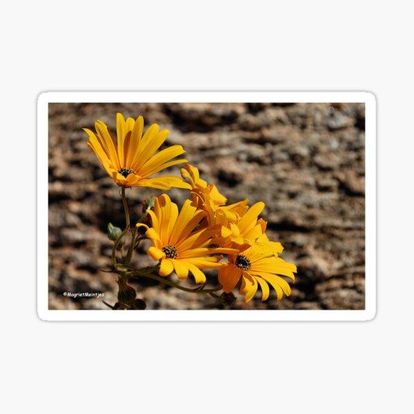 Arctotis cuprea – ASTERACEAE – Gousblom Sticker