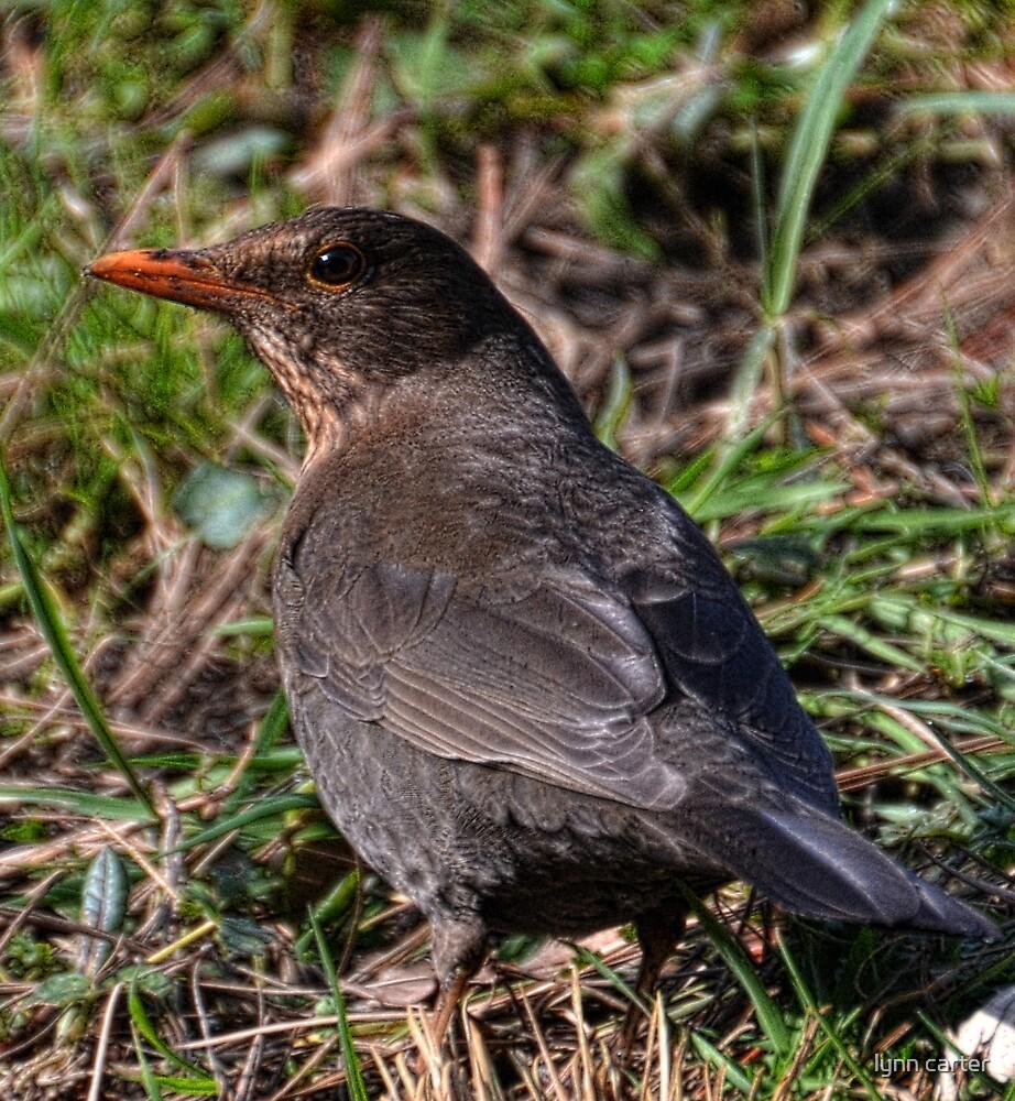 Female Blackbird by lynn carter