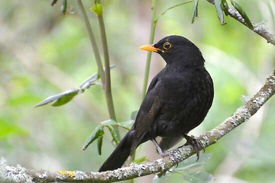 Blackbird by lynn carter