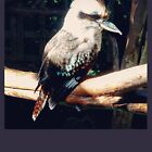 The Laughing Kookaburra by juliacreates