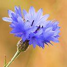 Cornflower by Neil Bygrave (NATURELENS)