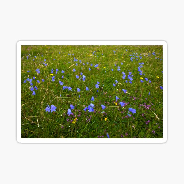 A sea of Harebells, Rossbeg, Co Donegal Sticker