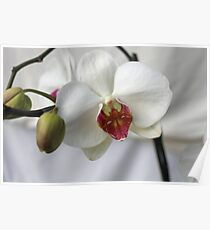 Orchid in wedding dress Poster