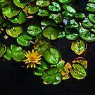 lone lotus by lastgasp