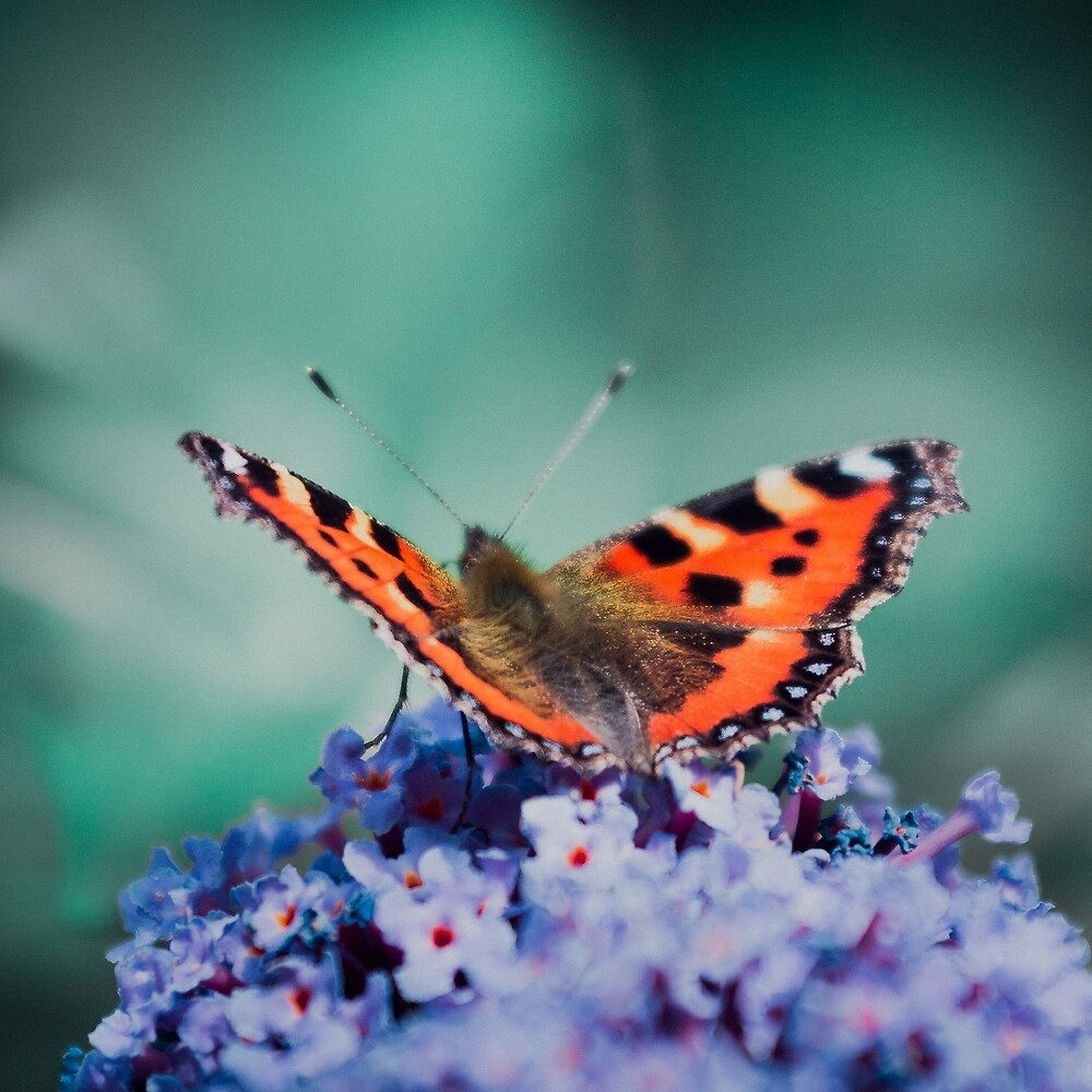 Small Tortoiseshell In Summer by stereocolours