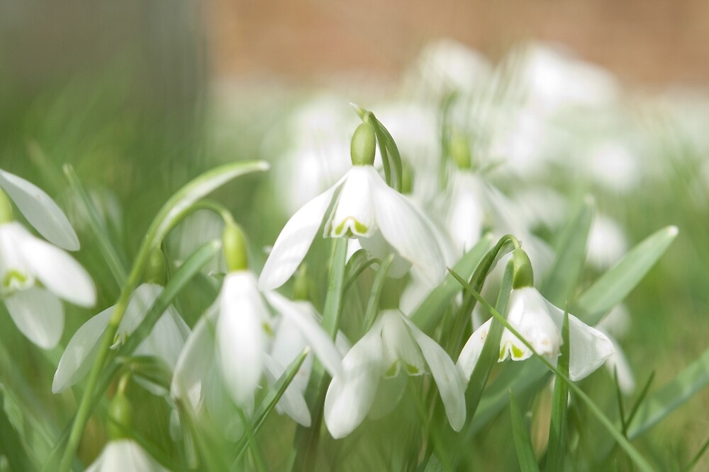 Snowdrop Magic by Janice Heppenstall