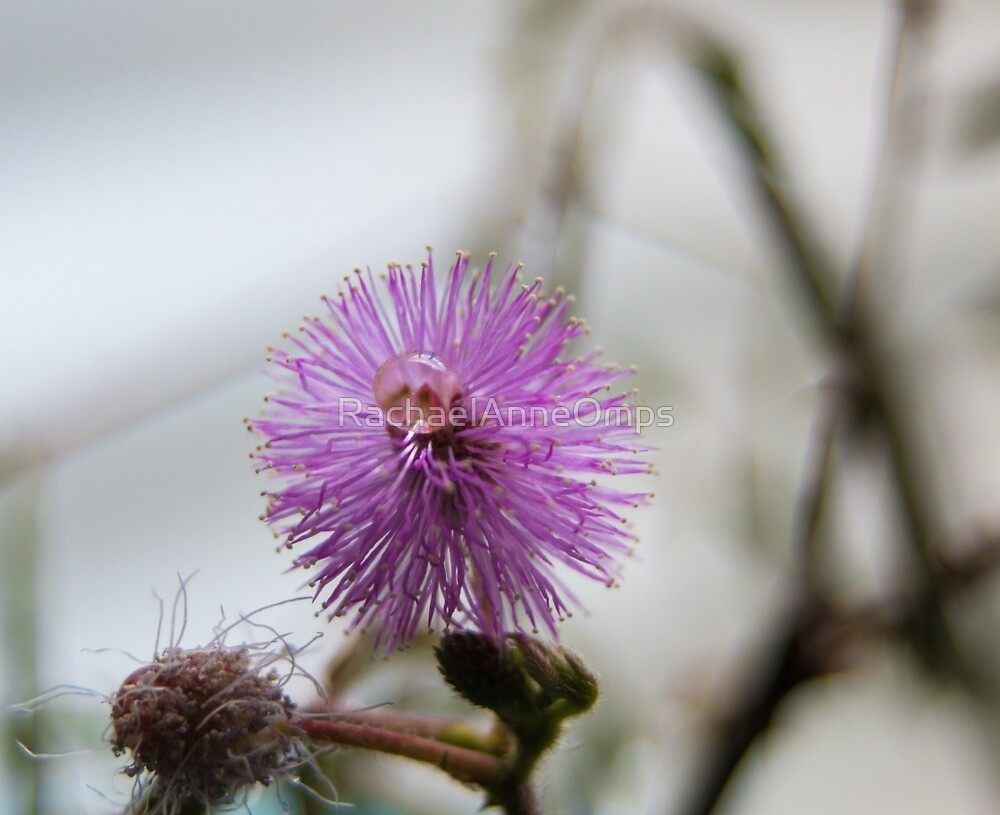 Mimosa Pudica (The Shy Plant)  by RachaelAnneOmps
