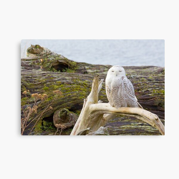 Snowy Owl Squint Canvas Print