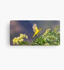 Yellow Warbler Leap Metal Print