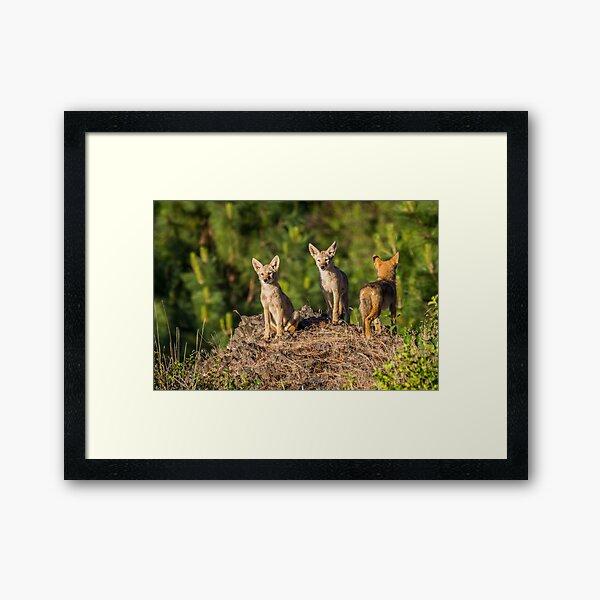 Coyote Pups Framed Art Print