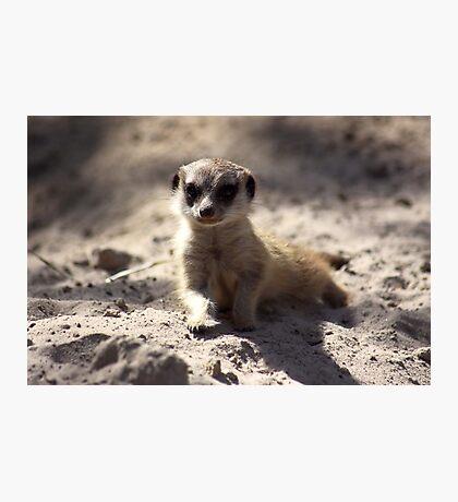 Meerkat Pup Photographic Print