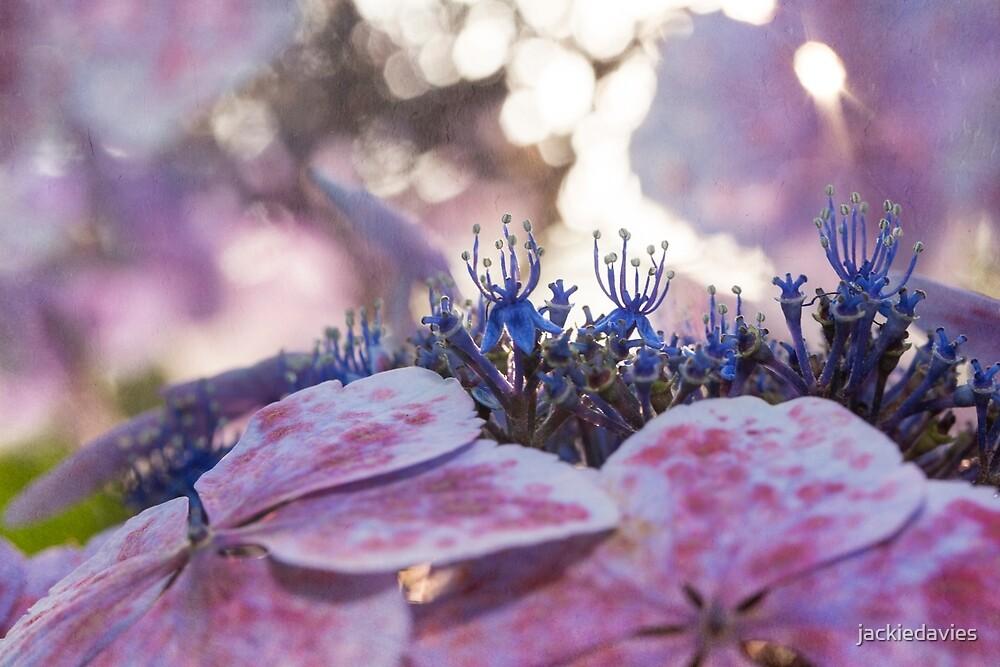 Purple Hydrangea  by jackiedavies