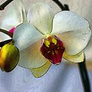 Shining Orchid  by Dulcina