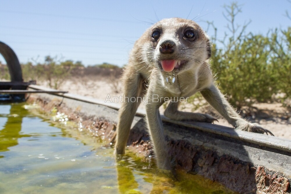 A meerkat drinks by Anthony Brewer