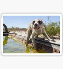 A meerkat drinks Sticker