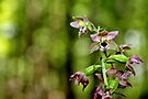 Broad-leaved Helleborine II by Kathleen Daley