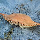 Callinectes Sapidus - Atlantic Blue Crab Shell   Great River, New York by © Sophie W. Smith