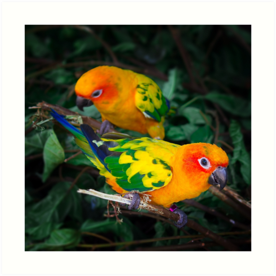 Two sun conures parrots are sitting on a tree branch by dariazu