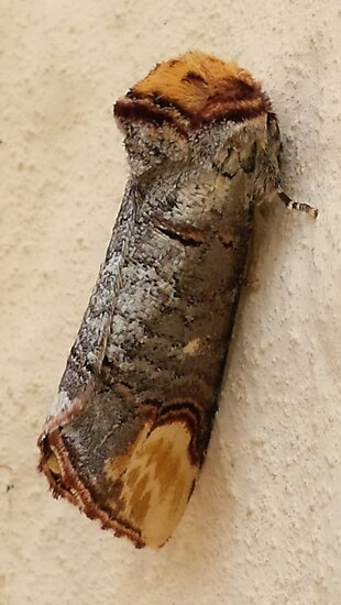 BUFF TIP MOTH CAMOUFLAGED LIKE A TWIG by Richard Brookes